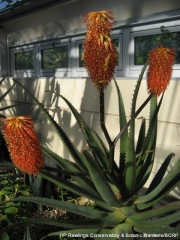 bottlebrush-aloe-aloe-rupestris