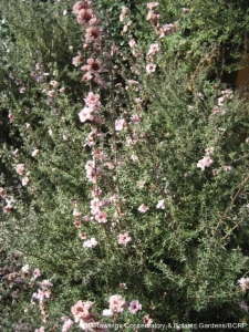 tea-tree-shrub