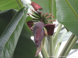 musa-sp-dwarf-cavendish-banana
