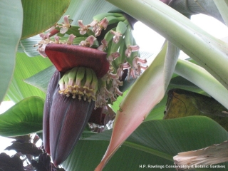 musa-sp-dwarf-cavendish-banana-1