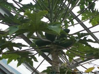 carica-papaya-papaya-1