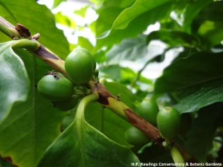 coffea-arabica-coffee-2