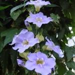 blue-sky-vine-thunbergia-grandiflora-1-half