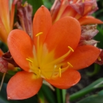 bush-lily-clivia-miniata-half