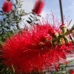 crimson-bottle-brush-callistemon-citrinus-2-half