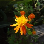 mexican-daisy-tithonia-rotundiflora-half