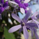 purple-wreath-petrea-volubilis-4-half
